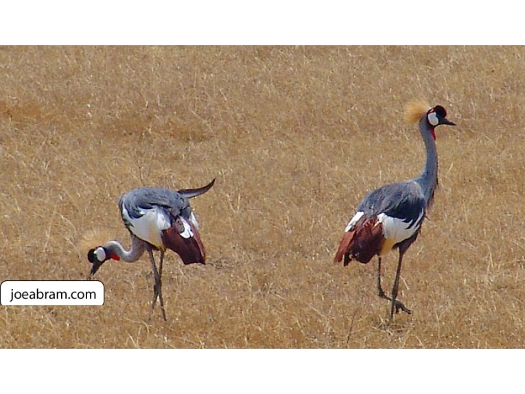 African Grey Crowned Crane-1