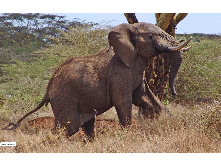 African Elephant-3