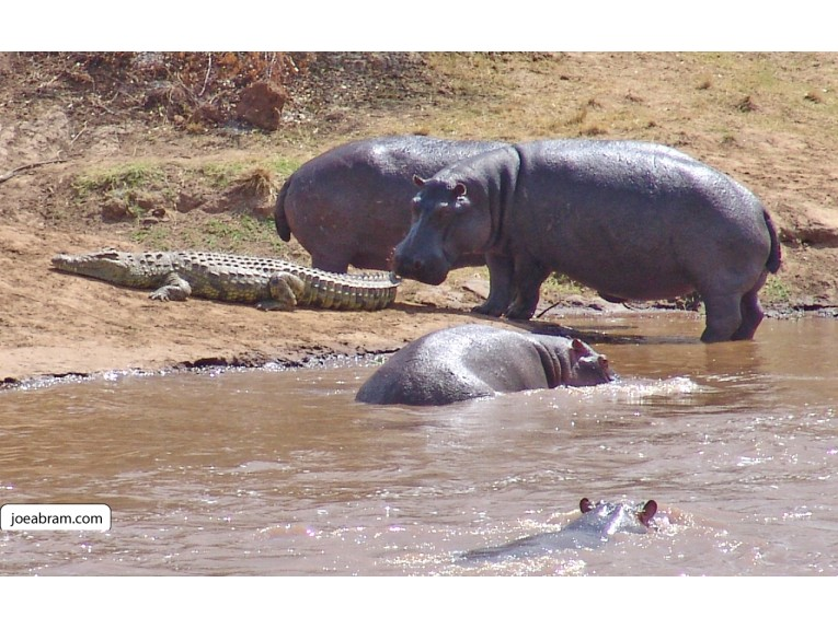 African Hippo-1
