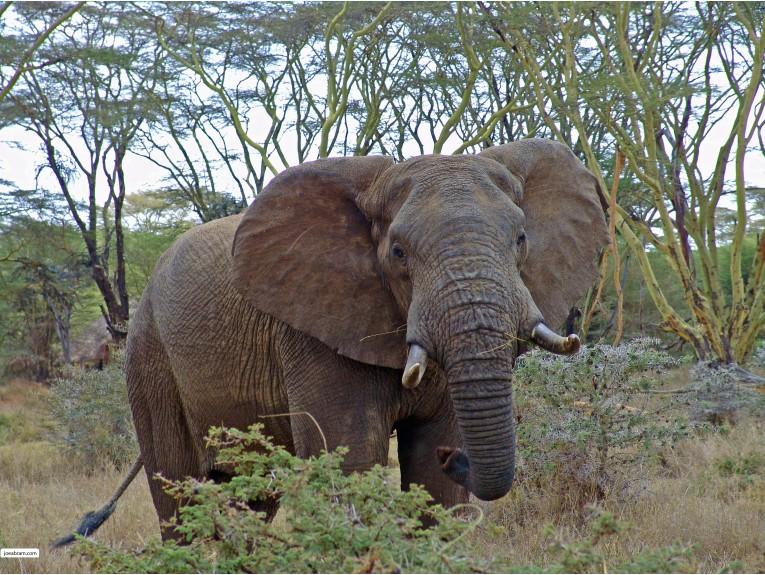 African Elephant-1