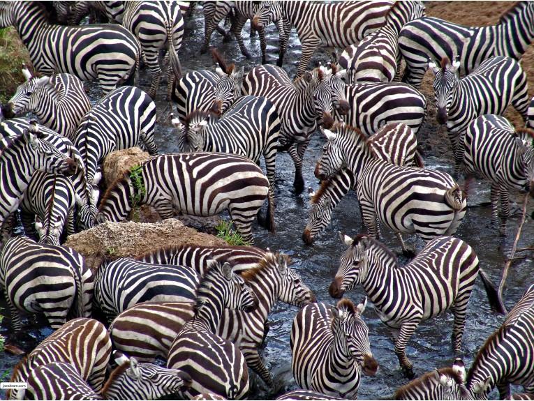 African Zebras-4